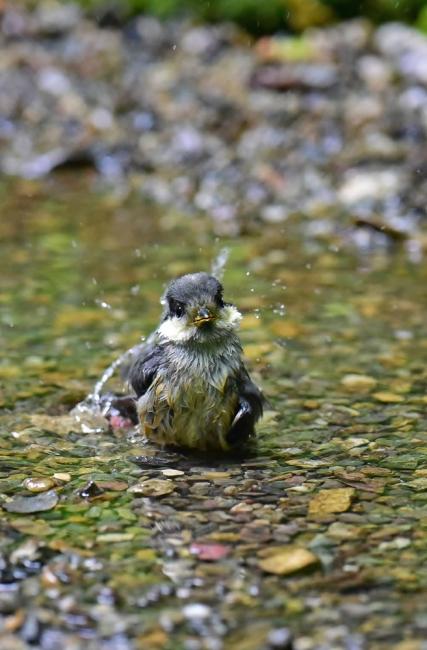 11969-ヤマガラ幼鳥-5