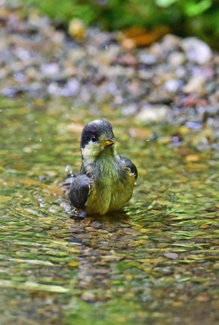 11971-ヤマガラ幼鳥-7