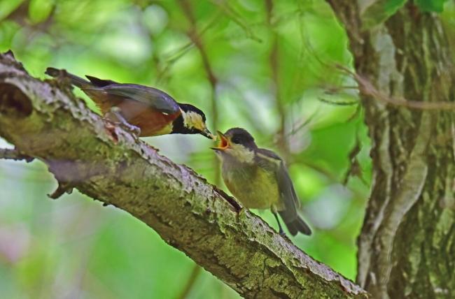 11978-ヤマガラ幼鳥-1