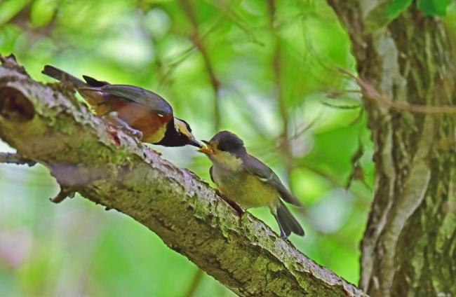 11979-ヤマガラ幼鳥-2