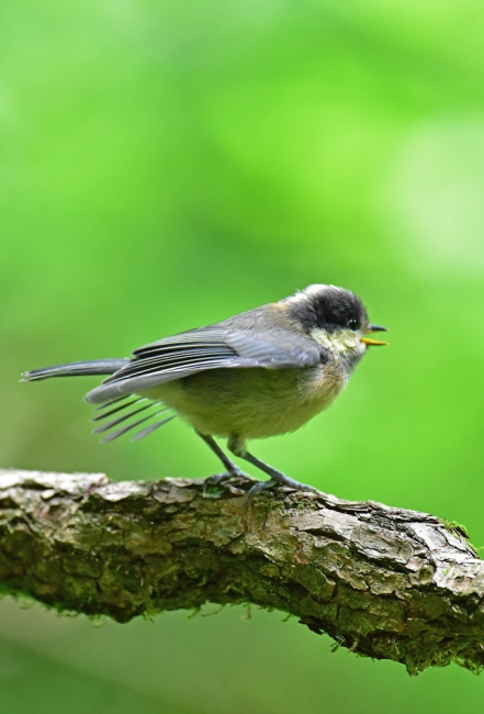 11982-ヤマガラ幼鳥-5