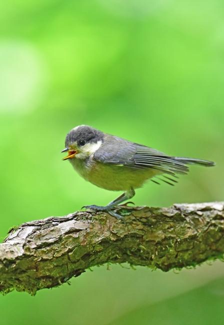 11983-ヤマガラ幼鳥-6