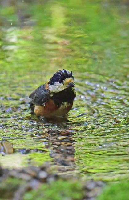11984-ヤマガラ幼鳥-1