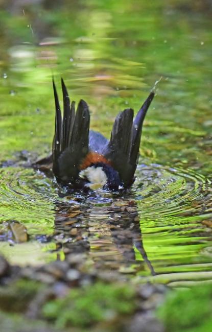 11987-ヤマガラ幼鳥-4