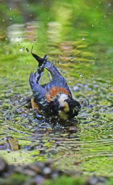 11988-ヤマガラ幼鳥-5