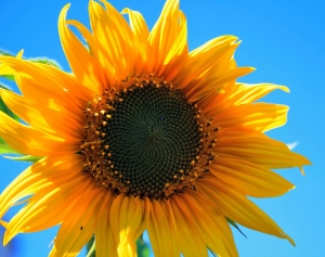 yellow-sunflower-403172_960_720.jpg