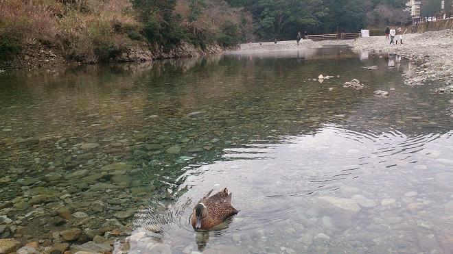 川湯温泉 真鴨