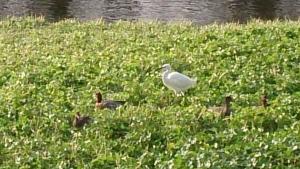 藻の花 部屋からの眺め 野鳥