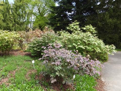 ホーエンハイム庭園牡丹1