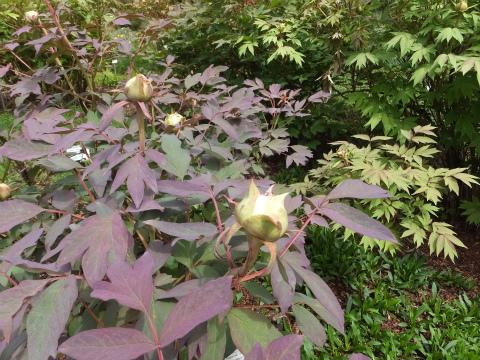 ホーエンハイム庭園牡丹2