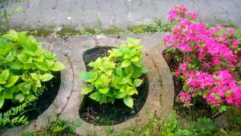 紫陽花、ツツジ