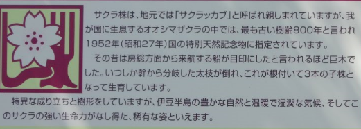 D桜株説明2958