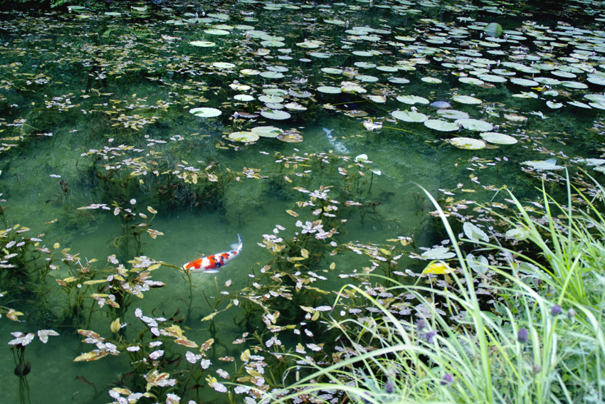 モネの池06