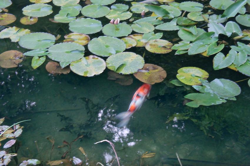 モネの池03