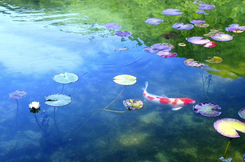モネの池10