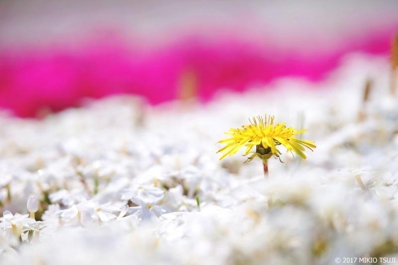 絶景探しの旅 - 0210 羊山公園の芝桜とタンポポ (埼玉県 秩父市)