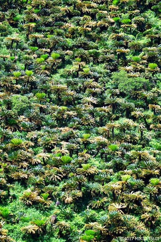 絶景探しの旅 - 0251 入り乱れ生い茂る初夏のソテツ群落 (奄美大島/鹿児島県 龍郷町)