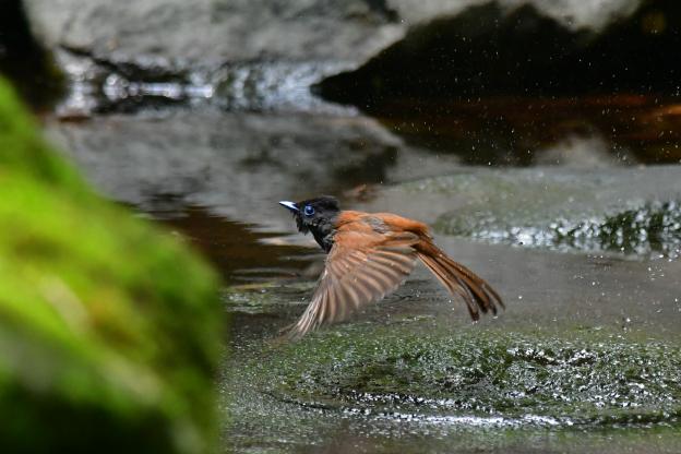 サンコウチョウ♀水浴びシーン