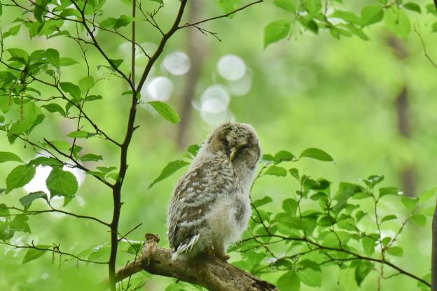 雨あがりに・フクロウ幼鳥