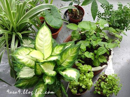 2017 6-24 観葉植物