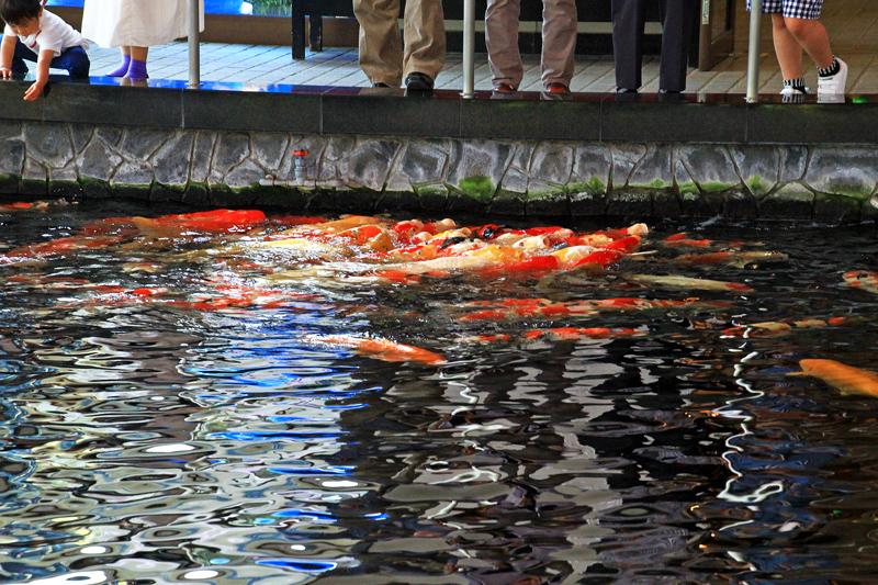 錦鯉のプール