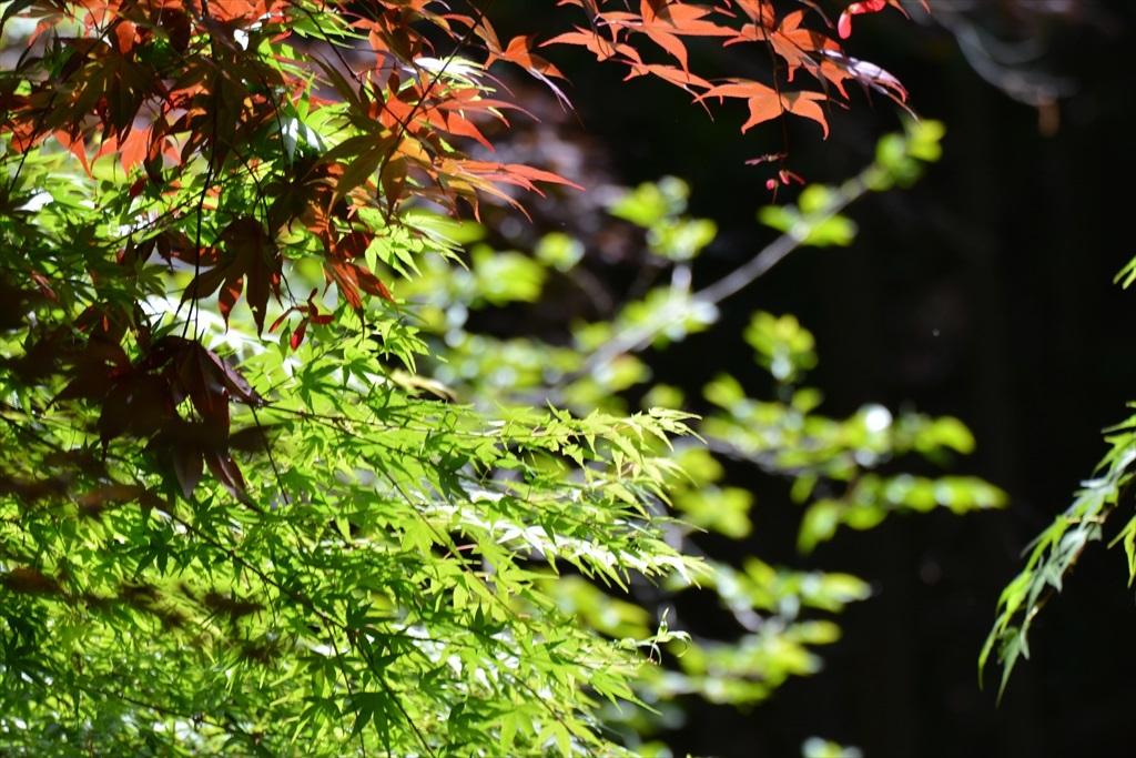 楓もきれい_2