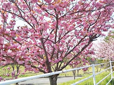 八重桜 (1)