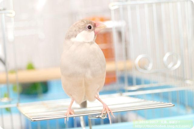 シルバー文鳥のネムイちゃんの写真