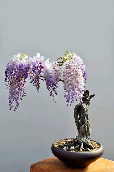 bonsai-fuji.jpg