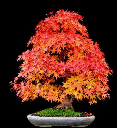 bonsai-maple.jpg
