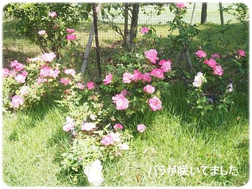 バラが咲いてました