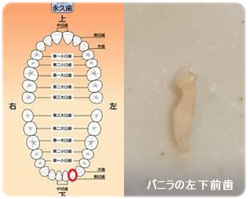 バニラの左下前歯