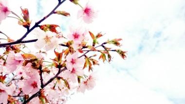 桜_20170508_002