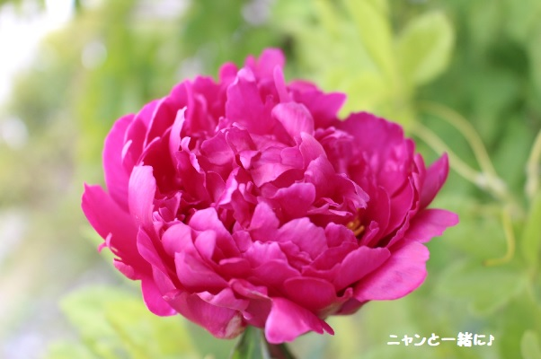 syakuyaku626.jpg