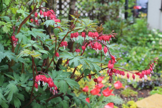 image_Dicentra_Red.jpg