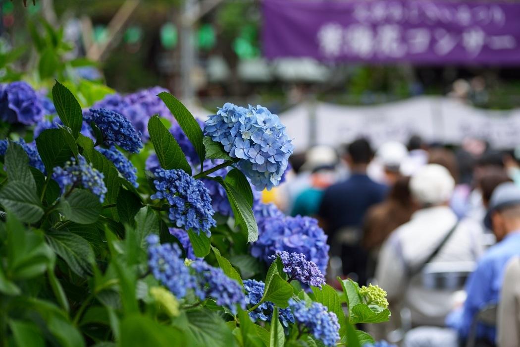 紫陽花再び(前編)