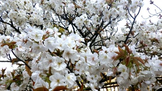 造幣局 桜の通り抜け 2017 Part2(御室有明:おむろありあけ)