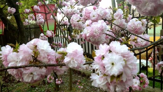 造幣局 桜の通り抜け 2017 Part4(紅手毬:べにてまり)