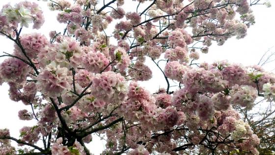 造幣局 桜の通り抜け 2017 Part5(御車返:みくるまがえし)