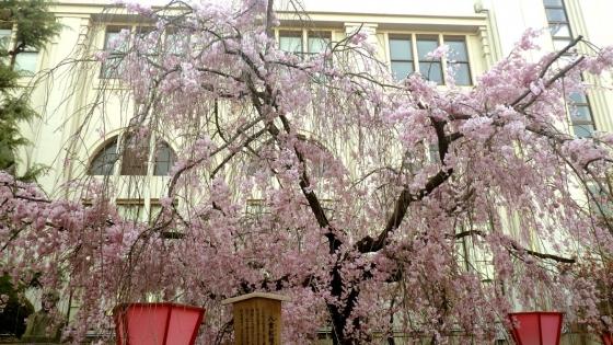造幣局 桜の通り抜け 2017 Part5 八重紅枝垂(やえべにしだれ)