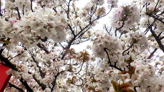 造幣局 桜の通り抜け 2017 Part5(有明:ありあけ)