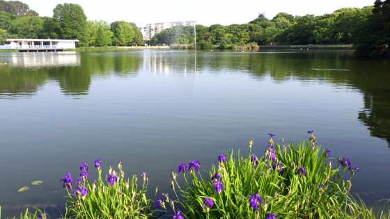 長居公園植物園の池と花菖蒲(2017年5月撮影)