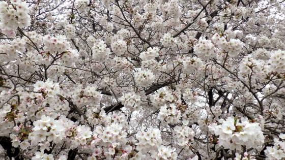 大泉緑地の桜(2017年4月:桜広場にて撮影)