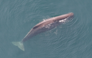 Sperm_whale_Tim_Cole_NMFS_crop.jpg