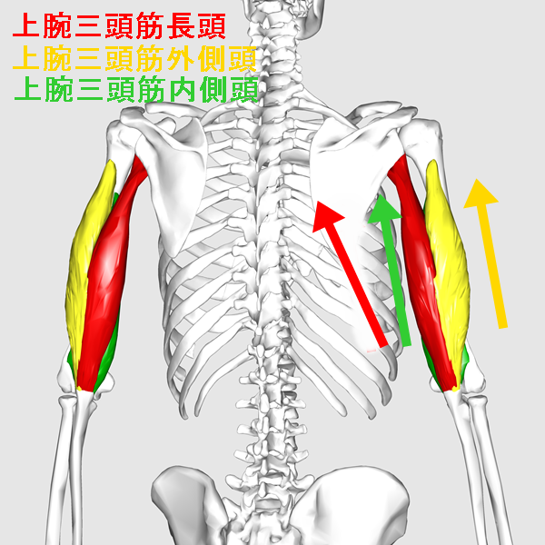 Triceps_brachii_muscle07_20170527124151e30.png