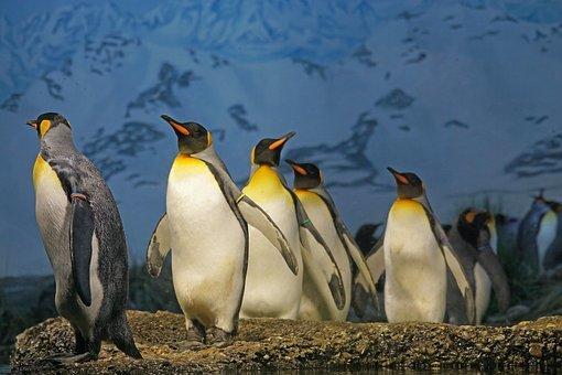 king-penguin-1703294__340.jpg