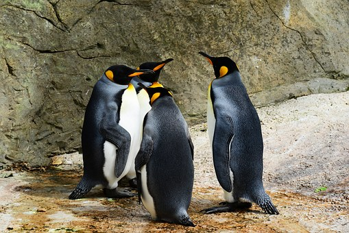 king-penguin-384252__340.jpg