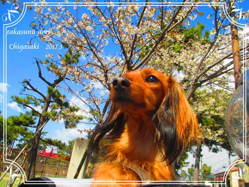 sakura-park1.jpg