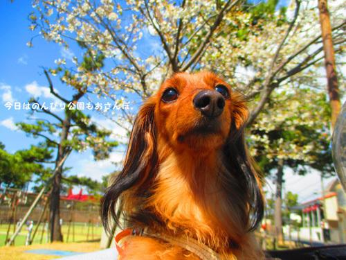 sakura-park2.jpg
