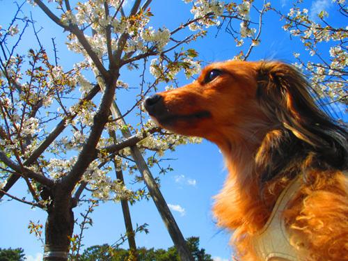 sakura-park3.jpg